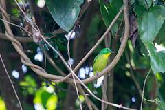 Vireón Esmeralda (Jorge De Silva R) Tags: green shrikevireo vireolanius pulchellus aves de chiapas birdwatchers chiapasmexico birds