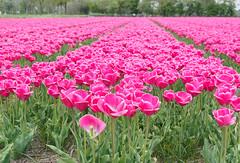 _5040025.jpg (Little Miss Clever Trousers) Tags: tulpen bollenstreek netherlands tulipfields northholland vogelenzang