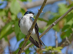 Tree Swallow. (Estrada77) Tags: treeswallow nikon 200500mm spring may2017 birds birding wildlife outdoors