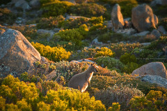Bathed In Morning Light || MOUNT WELLINGTON || HOBART (rhyspope) Tags: australia aussie tas tassie tasmania mt mount wellington wallaby nature wildlife roo rocks granite morning golden animal light rhys pope rhyspope canon 5d mkii hobart