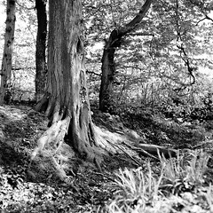 Mamiya106 (salparadise666) Tags: mamiya c330 sekor 80mm bw orange filter fomapan 100 boxspeed caffenol cl semistand 30min nils volkmer vintage camera square medium 6x6 format monochrome black white landscape nature rural tree contrast hannover region niedersachsen germany