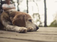 Darwin the beagle (amy buxton) Tags: amybuxton stlouis beagle canine dog nappingdog