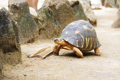 nosybe_autre faune & flore terrestre_2 (madatreasureisland) Tags: madagascar autre faune terrestre