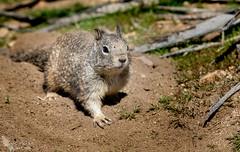 Steppin' out -- or maybe doing the hokey pokey! (Squirrel Girl cbk) Tags: 2017 blackrockcampground california joshuatreenationalpark march otospermophilusvariegatus rocksquirrel yuccavalley unitedstates us
