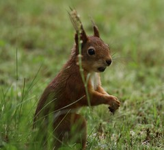 Red Squirrel sitting up in grass (Paul Cottis) Tags: martinselkonen finland mammal squirrel paulcottis forest boreral 25 june 2016 portrait