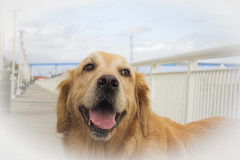 Love this walk! (Exdeltalady) Tags: golden goldenretriever embarcadero sandiego walk canine outdoor waterfront