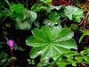 Frauenmantel - lady's mantle (Sophia-Fatima) Tags: mygarden meingarten naturgarten frauenmantel ladysmantle