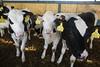 pawu017 (Otwarte Klatki) Tags: krowa krowy mleko zwierzęta cielak ferma andrzej skowron