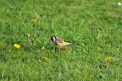 Goldfinch (Coed Celyn Photography) Tags: burryport harbour southwales carmarthenshire beach bird grass gardenbird chaffinch goldfinch beautiful colours