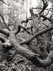 Gnarled and twisted (35mmMan) Tags: huaweip9plus monochrome blackwhite trees branches gnarled twisted patterns picsart