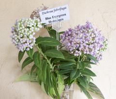 Blue Evergreen Hydrangea