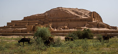 Ruins of the old world (\Nicolas/) Tags: ziggurat iran border mesopotamia history building priest dur untash khuzestan 1250bc animal cow