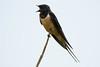 Swallow (Shane Jones) Tags: swallow bird hirundine singing wildlife nature nikon d500 200400vr tc14eii