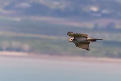 Grey Falcon (Timothy D.) Tags: animals australia birds capehillsboroughnationalpark greyfalcon nikond7100 qeensland tamron16300mm