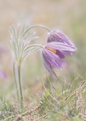 Stop dreaming. (BirgittaSjostedt) Tags: pasqueflower flower pasque nature closeup macro bright light bokeh windflower prairiecrocus easterflower meadowanemone field spring texture