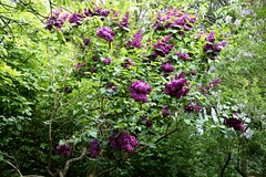 Lilac time (tiger289 (The d'Arcy dog supporters club)) Tags: highdown garden highdowngardens westsussex trees cherrytrees plants shrubs flowers hardwood judastree deciduous pond fish carp fruittree blossom spring lawns saplings bark redbark manorhouse highdownmanor restaurant allotment ww1 digforvictory foodproductionathome grass lawn flowerbeds ponds wildlife outdoor floralwalk avenueoftrees beechtrees redwoods insects birds squirrels bees pollen iteailicifolia hollyleavedsweetspire iteaceae tree plant foliage flower leaf perfume petals branch nature naturalworld chalkpit acidbeds landscape forest undergrowth woodland glade