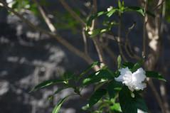 nEO_IMG_DSC03325 (Bryan Shan@) Tags: sony a55 sonya55 tamron tamronsp2448mmf3538 sp 2448mm f3538 model13a flower 花 plant 植物