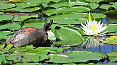 Turtle in the Lily Pads (Suzanham) Tags: reptile turtle lilypads waterlily shell vergetation plants testudinal nature wildlife animal noxubeewildliferefuge mississippi fantasticnature simplysuperb