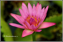 6870 - water lily (chandrasekaran a 40 lakhs views Thanks to all) Tags: waterlily lily flowers nature india chennai canoneos760d tamron90mm