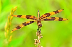 Halloween in May (deanrr) Tags: dragonfly morgancountyalabama alabama nature outdoor spring 2017 weeds halloweenpennant greenbackground bokeh