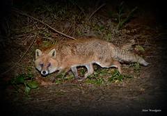 Red Fox ( Vulpes vulpes ) - Buckinghamshire (Alan Woodgate) Tags: wild fox uk night