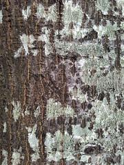 テクスチャー (Rafael González de Riancho (Lunada) / Rafa Rianch) Tags: árbol textura naturaleza tree texture nature ツリー テクスチャー 自然 arbre
