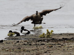 EOS 7D Mark II_045248 (Gertjan Kamsteeg) Tags: animal vertebrate bird brantacanadensis canadagoose grotecanadesegans canadesegans canadagans gans eend goose duck tuftedduck kuifeend degroenejonker