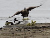 EOS 7D Mark II_045248 (gertjan.kamsteeg) Tags: animal vertebrate bird brantacanadensis canadagoose grotecanadesegans canadesegans canadagans gans eend goose duck tuftedduck kuifeend degroenejonker