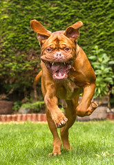 Benson (Kev Gregory (General)) Tags: benson dog dogue de bordeaux brown garden run chase teeth mouth pet french mastiff fierce floppy kev gregory can 7d hound play fetch