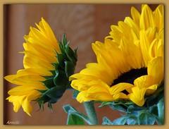Sunflowers (Armelle85) Tags: extérieur fleur flore tournesol sunflower macro nature