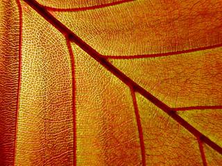 sunlight passing thru a young copper beech leaf