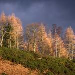 Sunlit Birches thumbnail