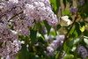 Take off (Guillermo S.L.) Tags: flores lilas syringa lilac spring insect butterfly