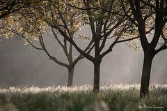 Le réveil des noyers / The awakening of walnut trees (Pierrotg2g) Tags: arbres trees paysage landscape nature nikon d90 tamron 70200