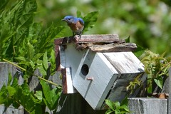 So, Its a Fixer Upper! (Whispers Innovations) Tags: easternbluebird maleeasternbluebird bluebird bluebirdwithrustorbrowncoloredbreast bird turdidae sialiasialis thrush birdhouse nesting animal home outdoors