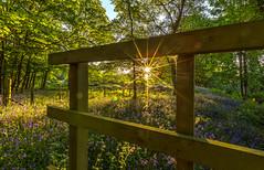 Bluebell Wood (nicklucas2) Tags: sun sunrise newforest nature landscape bluebell wood flowersallkinds
