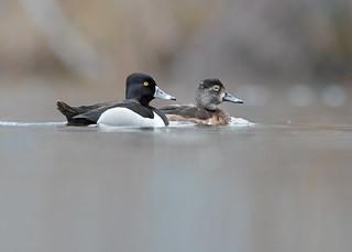 Fuligule à bec cerclé - Fuligule à collier - Aythya collaris - Ring-necked Duck