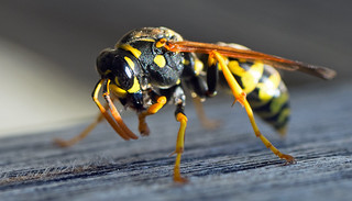 wasp with wristwatch