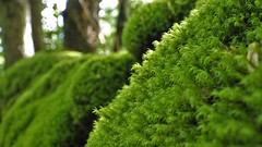 Solo muschio (chiaraa60) Tags: macromondays member'schoiceintothewoods muschio moss verde green bosco wood tree