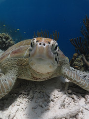 Green Sea Turtle (Norman Graf) Tags: animal bonaire centralamerica cheloniamydas greenseaturtle jerrysreef justanicedive kleinbonaire nearestpoint reptile snorkeling turtle watersports