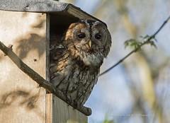 Tawny owl male (Steven Mcgrath (Glesgastef)) Tags: tawny owl male robroyston glasgow scotland scottish nestbox nest box bird prey raptor wild wildlife nature