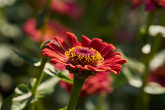 ML_170513_7 (alfrd p) Tags: nature flora flowers plants zinnia mountlofty botanic garden