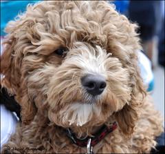 The Ole One Eye (John Neziol) Tags: jrneziolphotography interestingdogposes poodle dog dognose animal pet brantford nikon nikondslr nikoncamera cute closeup curlyhaireddog portrait