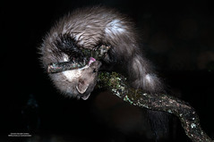 Garduña Martes foina (Justino Bordallo Cordero) Tags: mamifero carnivoro depredador naturaleza noche nocturna villardel maestre mammal carnivorous predator nature villar del night nocturnal