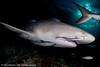 Tiburón limón (Brevirostris Negaprion) (Alfonso Exposito) Tags: visipix