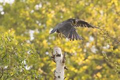 Peregrine (Falco peregrinus) (Baldyal) Tags: peregrine falcon bird prey shropshire wildlife