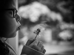 Playing with Nature...   Explored 19/May/2017 (Moonbags) Tags: dandelion clocks flowers seeds mono flight dispersal games nature fun bw bokeh