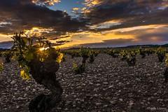 Viñas a contraluz (allabar8769) Tags: camposdecastilla cigales contraluz paisaje valladolid atardecer viñas nwn