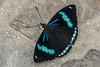 Perisama dorbignyi paula (Oberthür, 1916) (PriscillaBurcher) Tags: cyanbandedperisama perisamadorbignyipaulaoberthür1916 perisamadorbignyipaula perisamadorbignyi perisama lepidoptera nymphalidae mariposasdecolombia butterfliesfromcolombia brushfootedbutterfly laceja colombia priscillaburcher l1280815 coth5