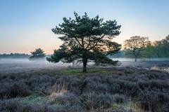 Heidebaum (webpinsel) Tags: frühling halternamsee heide landschaft morgendämmerung morgenstimmung natur nebel sythen westruperheide morgens